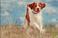 Brittany Spaniel ~ Classic Look Brittany Spaniel Dogs, Helen Green, Horses And Dogs, Mans Best Friend, I Love Dogs, Best Dogs, Dog Cat, Hunting, Cute Animals