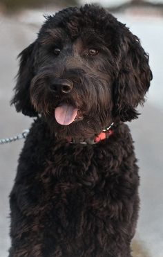Labradoodle What our Merlin will look like if we keep his face groomed.