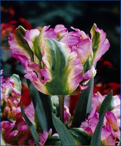 Tulip Green Wave - pastel mauve-pink with green flames and an exterior white base...