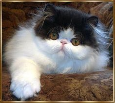 The cattery of Persian cats. The pictures of cats and kittens. Sale of show quality kittens. Cute Cats And Kittens, I Love Cats, Crazy Cats, Cool Cats, Kittens Cutest, Pretty Cats, Beautiful Cats, Chatons Oranges, Persian Kittens