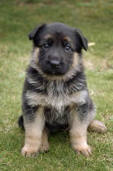 German Shephard Husky Puppy! I want :)