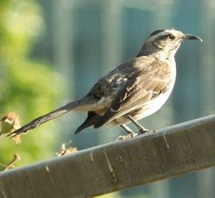 Tenca Love Birds, Beautiful Birds, Mocking Birds, Thrasher, Pet Birds, Reptiles, Flora, Exotic, Canon