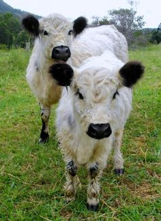love white galloways!