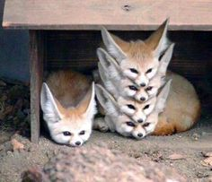 Une Pyramide de Fennecs
