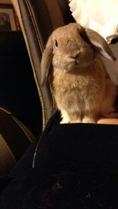 """Meet Mr. Whiskers a Petfinder adoptable Mini-Lop Rabbit   Los Angeles, CA   We are a truly """"Lucky Bunnies!"""" We are looking for a loving home. In return we will give you..."""