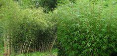 Fargesia (bambou non-traçant) [Poaceae]