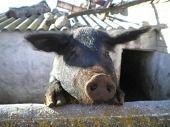 Sate Babi Varkensvlees