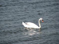 Mute swan from the deck