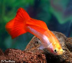 """Premium Coral Platinum Fancy Male Guppy, 1"""" to 1.5"""" long"""