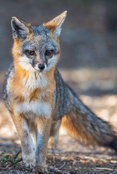Close encounter with a grey fox by Susan (Runaway Gypsy) Animals And Pets, Funny Animals, Cute Animals, Coyotes, Wolf Hybrid, Fuchs Tattoo, Grey Fox, Close Encounters, Mammals