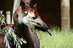okapi pulling tongues | Flickr - Photo Sharing!