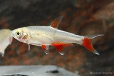 Bloodfin Tetra -These guys are another great schooling fish, and they are really fast:)