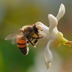Bee Lemon Blossom Flower Macro