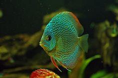 Snakeskin Discus Fish http://www.facebook.com/AquacultureExperts