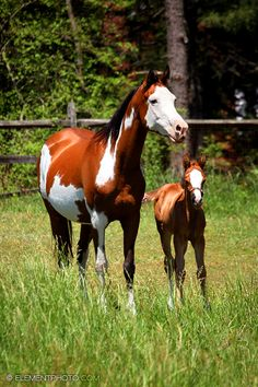 Horse / Bay Paint Arab and Foal