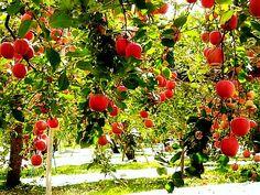 Aomori Apple Orchards