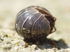 Armadillidium vulgare rolled into a ball