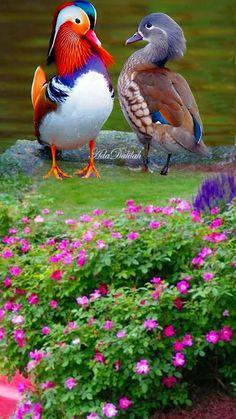 Tropical Birds, Exotic Birds, Colorful Birds, Small Birds, Canard Mandarin, Mandarin Duck, Pretty Birds, Beautiful Birds, Animals Beautiful