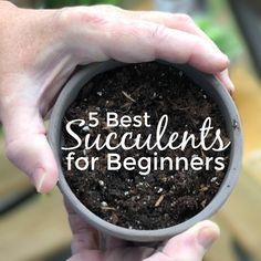 5 best succulents for beginners who want to grow a beautiful succulent garden. #gardening #succulents #desperatelyseekinggina