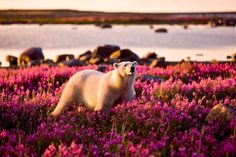 This polar bear looks as if it has taken a wrong turning as it roams an Arctic landscape covered in beautiful fireweed flowers instead of snow... Picture: MICHAEL POLIZA / CATERS NEWS