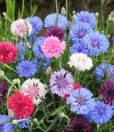 Bachelor Polka Dot Mix- Annual.  A delightful edible cut flower and bedding plant. A diverse mix with many shades of blue, pink, white, and lavender. Tolerates drought conditions. Best sown outdoors in early spring. http://www.highmowingseeds.com/organic-non-gmo-seeds-polka-dot-bachelor-button.html