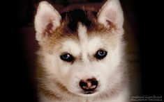 dog and puppy pics | Husky Puppy - Dogs Wallpaper (13985219) - Fanpop fanclubs