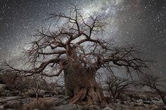 「Diamond Nights」是美國女攝影師 Beth Moon 完成於2013年的一個私人拍攝項目,在這個項目中,攝影師通過長曝光的方式拍攝巨大樹木在星空下的肖像,試圖籍此呈現宇宙與植物生命的聯繫。  「這些照片都拍攝於人煙罕至的地方,遠離大城市的光污染和空氣污染,例如非洲波札那,納米比亞,南半球的角落。你可以看到巨大的猴麵包樹和超現實風格的箭袋樹,這些奇觀一樣的植物就這樣矗立在同樣奇觀的銀河系星辰之中。  愛丁堡大學的研究人員曾經發現,在宇宙射線強烈的區域,樹木的生長速度更快,有時候來自宇宙的輻射對樹木生長的影響比氣溫或降雨更多。樹木就如同太陽能量的聚集器,將太陽的能量轉化為地球生命的蛻變。  在拍攝方式上,你需要在沒有月光的夜晚拍攝,採用廣角鏡頭,ISO在3200-6400,曝光30秒以上。」  關於攝影師 Beth Moon,美國女攝影師,我們曾經介紹過她同樣以樹為主題的黑白拍攝項目「Portraits of Time」。