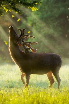 A stag in early summer feeding on the fresh green tips at dawn in England