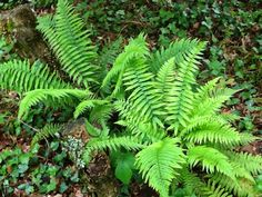 varens in bos en tuin: Dryopteris cycadina, zone 5