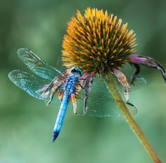 Dragonfly by Itoodmuk  on 500px