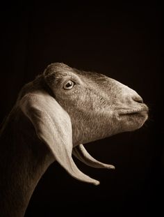 Kevin Horan Sheep Portrait