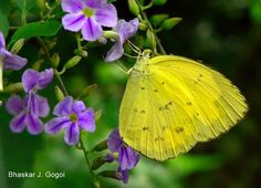 The Common Emigrant or Lemon Emigrant (Catopsilia pomona) is a medium sized pierid butterfly found in Asia and parts of Australia. The species gets its name from its habit of migration. Some early authors considered them as two distinct species Catopsilia crocale and Catopsilia pomona