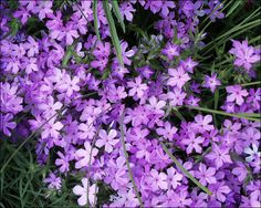 Creeping Phlox to trail down a raised flowerbed or pouring from urn.  Ground cover.  Partial Shade.  April-May