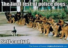 Image result for funny pictures of german shepherds