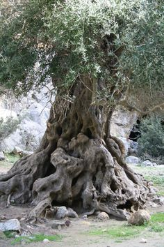 ..look at that olive tree...