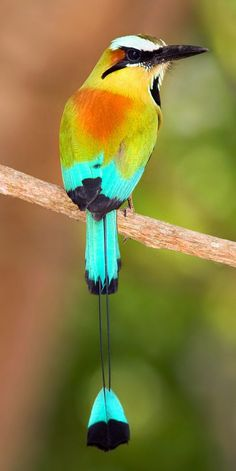 The Turquoise-Browed Motmot inhabits Central America from SE Mexico (mostly the Yucatán Peninsula) to Costa Rica, where it is common. Don't you love the pretty little drop feather dangling? Nature Animals, Animals And Pets, Cute Animals, Pretty Animals, Baby Animals, Nature Nature, Funny Animals, Exotic Birds, Colorful Birds