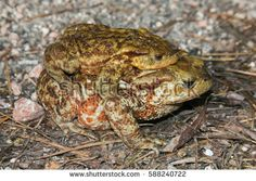 Funny animals: toads in love #toad #love #toadsinlove #bufo #animals #couple #sex #amplexus