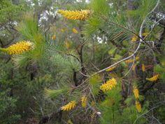 Persoonia pinifolia.