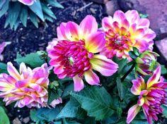 dahlia hypnotica (rose bicolor)