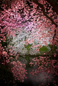 Night view - Cherry tree in full bloom, Japan