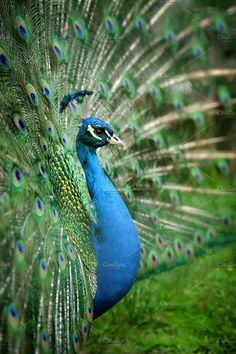 Peacock Photos Portrait of beautiful peacock with feathers out by byrdyak