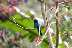 Colibri by Tommy Gamboa Flores on 500px