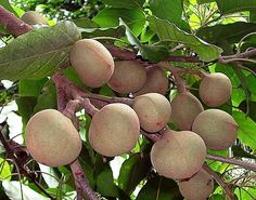 Buah Keras,Kukui (Aleurites moluccana) Candlenut fruits. Also known as Candleberry and Indian Walnut