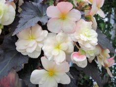 Begonia 'Silhouette Lemon Rose' - can't wait to try this!