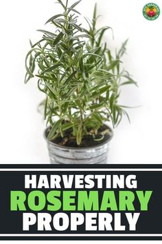 If you know how to harvest rosemary properly, you'll always have a supply right at hand. Our in-depth guide shares how to do it! Rosemary Plant, How To Dry Rosemary, Garden Tips, Garden Projects, Garden Ideas, Aromatic Herbs, Medicinal Herbs, All About Plants, Bountiful Harvest
