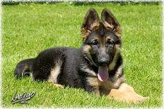 Jerland Kennels - German Shepherd Dogs - Puppies Pictures