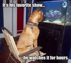 Funny Dog Watching Fish Tank Joke Picture - It's his favorite show... he watches it for hours