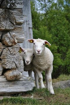 Sheep standing beside an old log cabin. Cute Sheep, Sheep Farm, Sheep And Lamb, Farm Animals, Animals And Pets, Cute Animals, Alpacas, Beautiful Creatures, Animals Beautiful