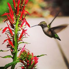 Hummingbird visiting the Pollinators Garden at Franklin Park Conservatory