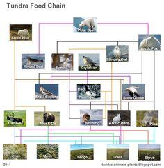 food chain tundra - Google Search